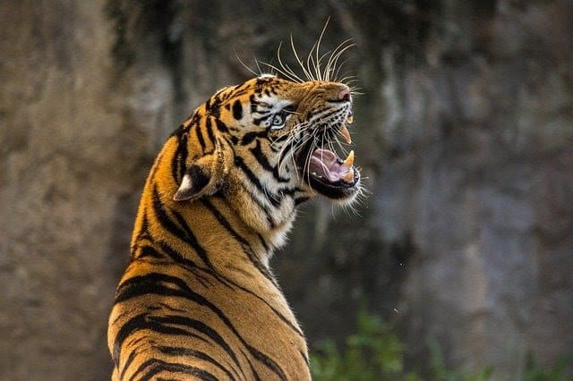 Example image of a tiger. This will be used as input for classification using the OpenCV's DNN Module