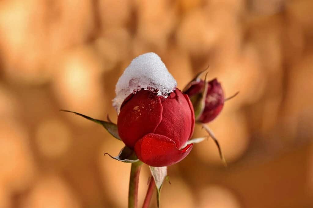 Image with a rose flower with snow on top, in foreground and brown background. We will use this same image throughout the post, to demonstrate read, display and write an image.