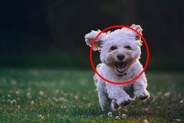 The output image with a circle outline drawn around the Puppy's face.